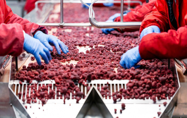 Workers on an assembly line handling raspberries