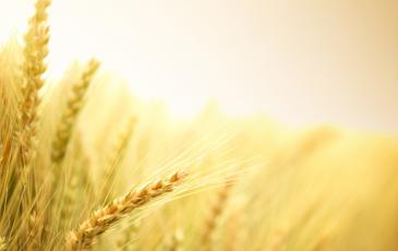 Wheat_Small_resolution